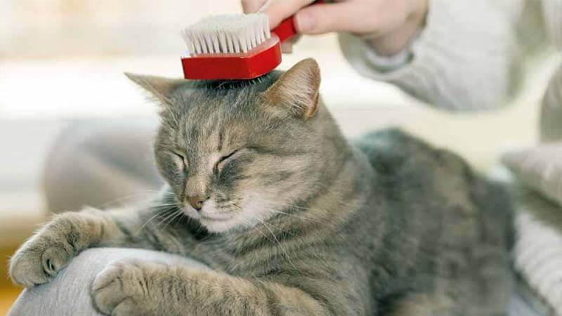 Cara Mengatasi Bulu Kucing Rontok