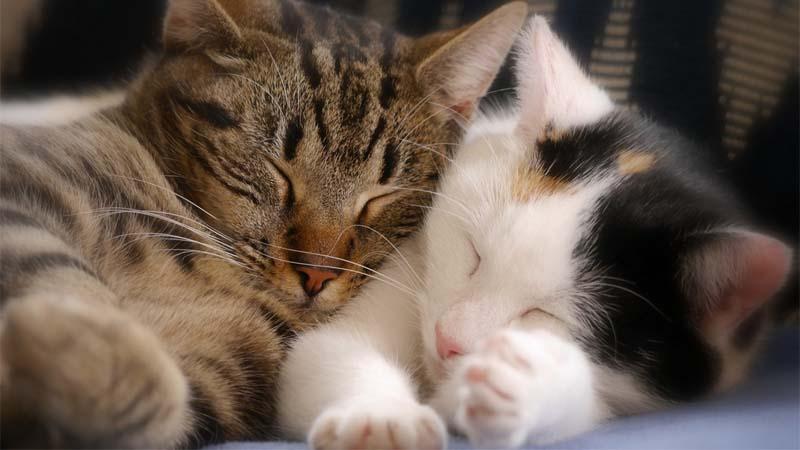 Cara Mengatasi Kucing Birahi