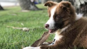 Cara Menghilangkan Kutu Anjing