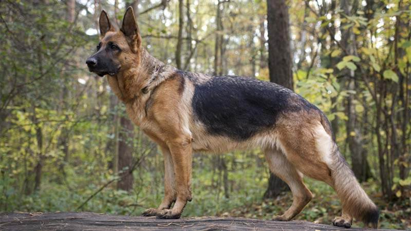 German Shepherd SaddleBack