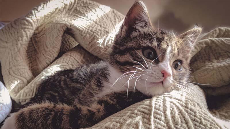 cara menenangkan kucing birahi