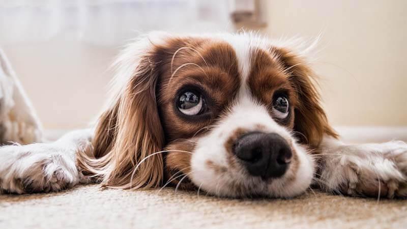 10 Cara Menghilangkan Kutu Anjing Secara Alami Ampuh