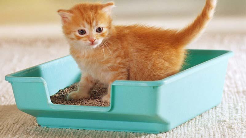 mengatasi kucing betina birahi