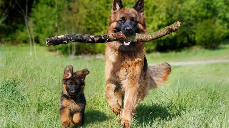 sifat german shepherd