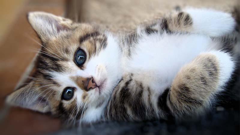 solusi kucing birahi