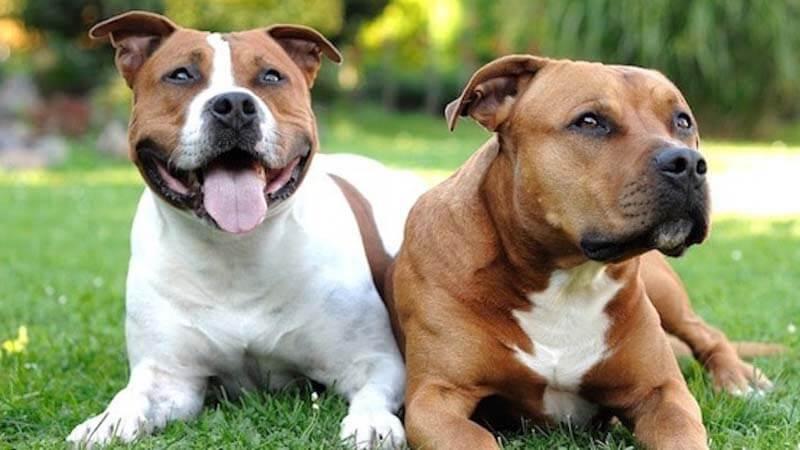 Anjing Pitbull