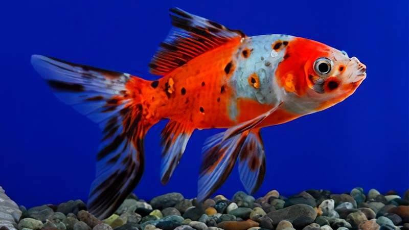 Jenis Ikan Mas Koki Calico