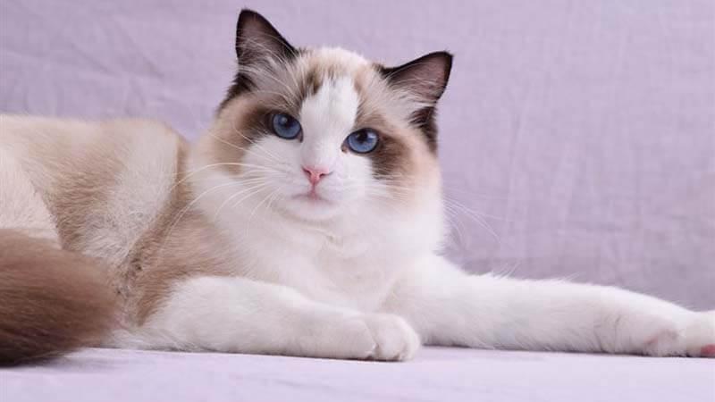 Cara Merawat Kucing Ragdoll
