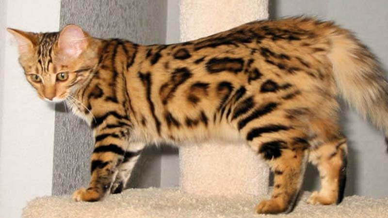 Cashmere Bengal
