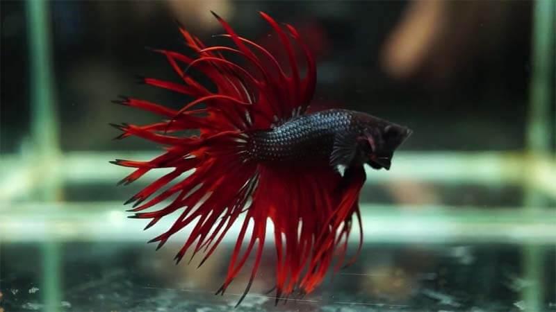9 Jenis Ikan Cupang Termahal Dan Cara Budidayanya