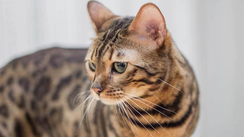 Kucing Bengal Harga Karakteristik Cara Merawat Makanan