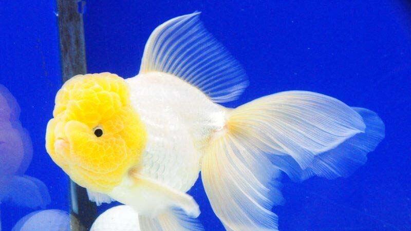 Jenis Ikan Mas Koki Oranda