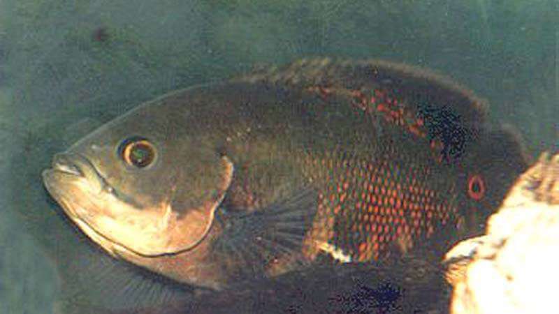 Ikan Oscar Harga Jenis Cara Budidaya Dan Cara Merawat