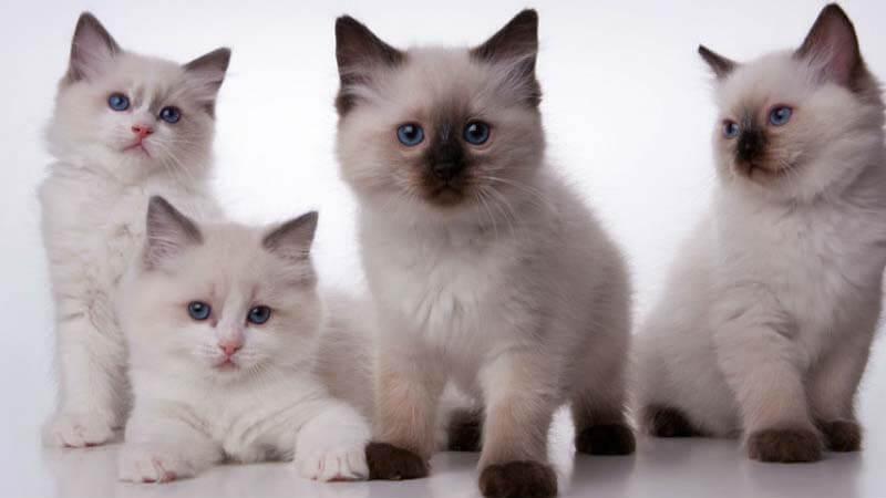 Kucing Ragdoll Harga Ciri Sifat Fakta Dan Cara Merawat