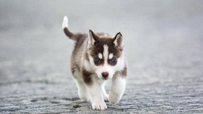 gambar husky