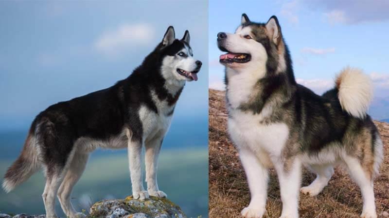 perbedaan alaskan malamute dan siberian husky