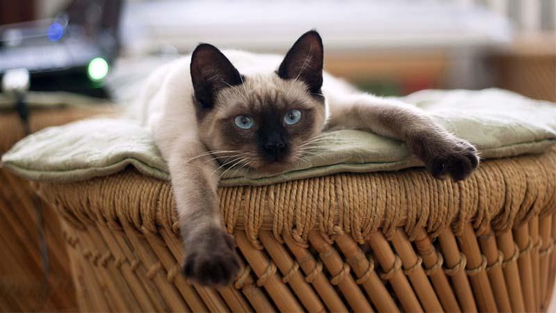 Biaya Perawatan Kucing Siam