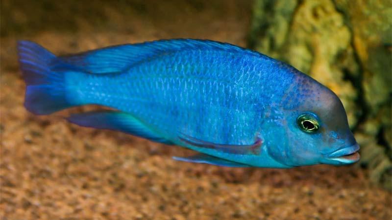 Blue Moorii