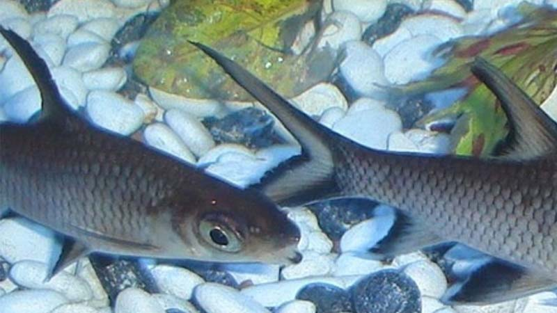 Cara Budidaya Ikan Bala Shark