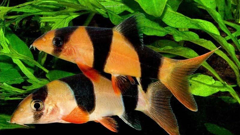 Cara Budidaya Ikan Botia
