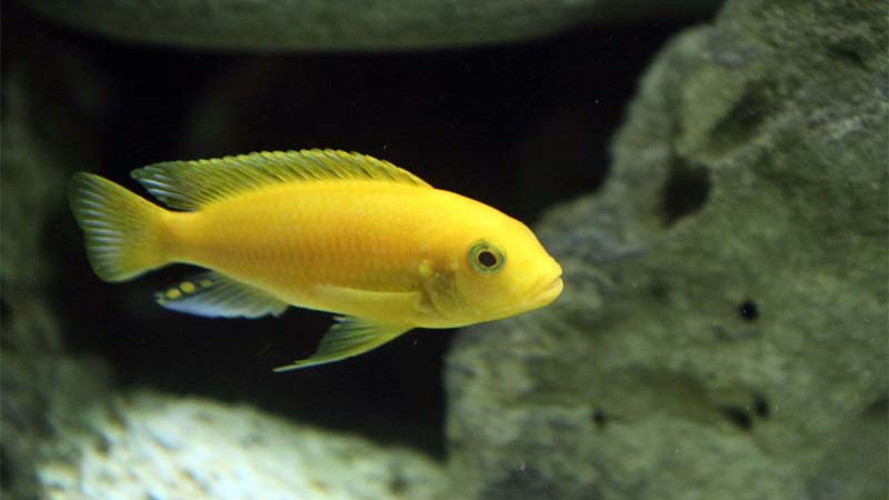 Cara Budidaya Ikan Lemon