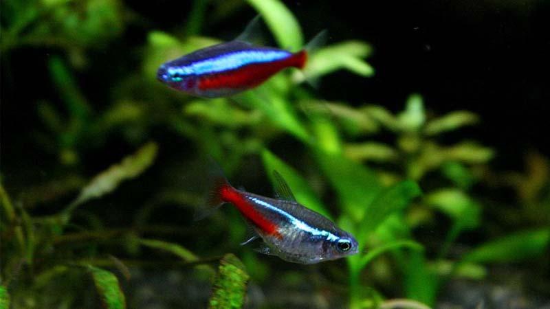 Cara Budidaya Ikan Neon
