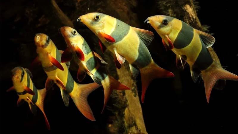 Cara Merawat Ikan Botia