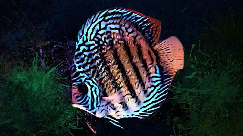 Cara Merawat Ikan Discus
