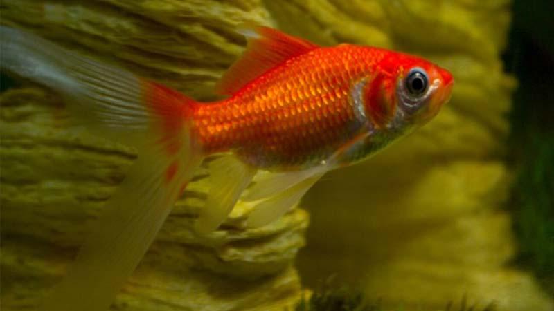 Cara Merawat Ikan Komet