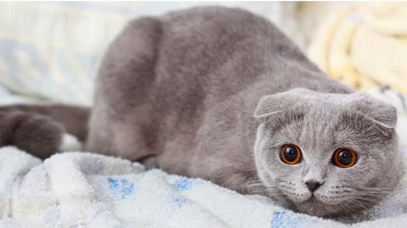 Cara Merawat Kucing Scottish Fold