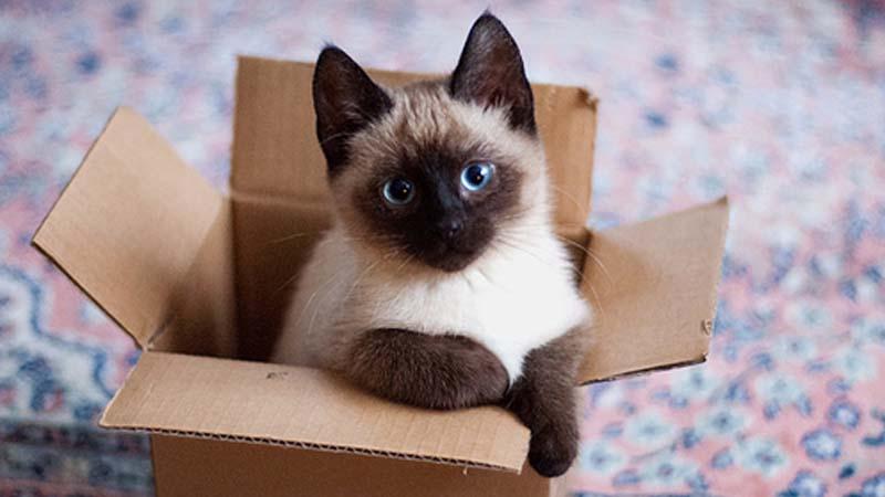 Cara Merawat Kucing Siam