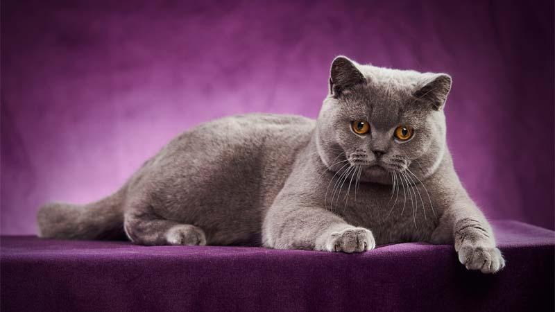 Ciri Ciri Kucing British Shorthair