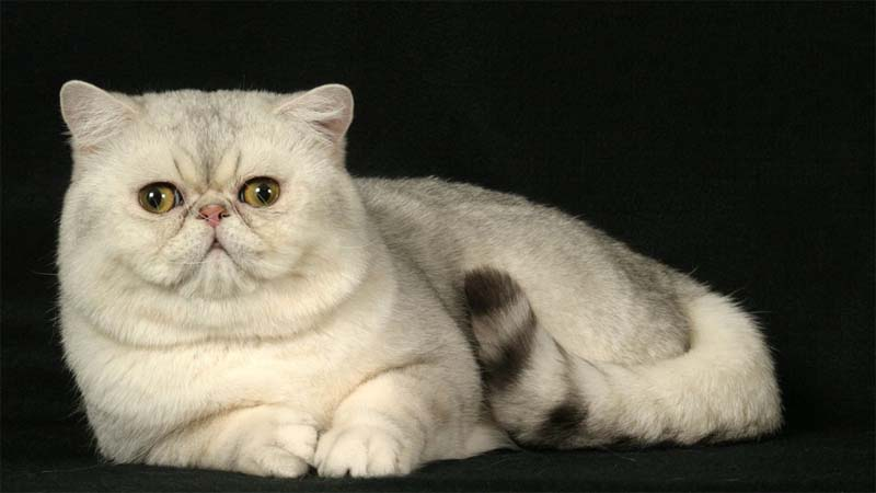 Ciri Ciri Kucing Exotic Shorthair
