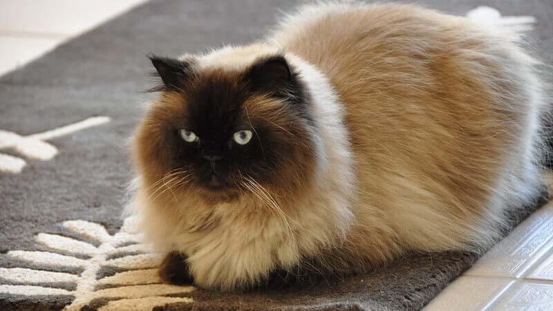 Ciri Ciri Kucing Himalaya