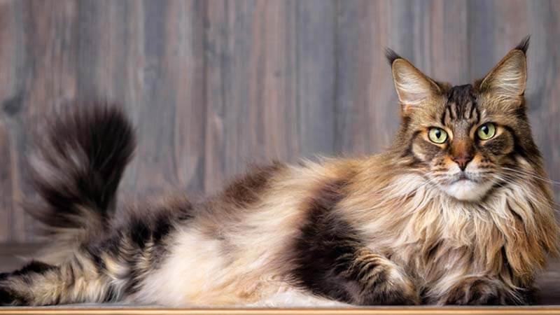 Ciri Ciri Kucing Maine Coon