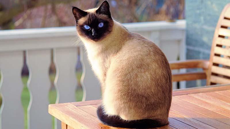 Ciri Ciri Kucing Siam