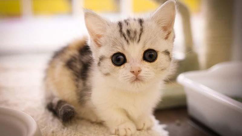 Ciri Fisik Kucing Munchkin