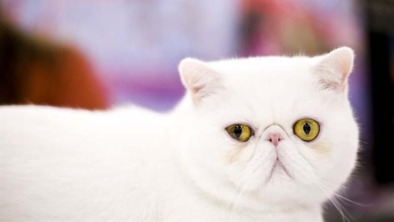 Kucing Exotic Shorthair Harga Ciri Fisik Makanan Cara Merawat