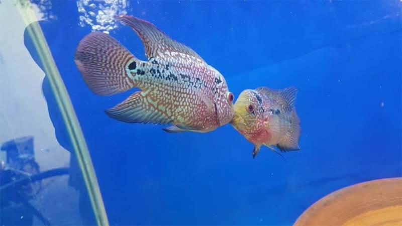 Ikan Louhan Harga Jenis Cara Merawat Dan Budidaya