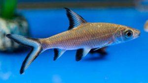 Ikan Bala Shark