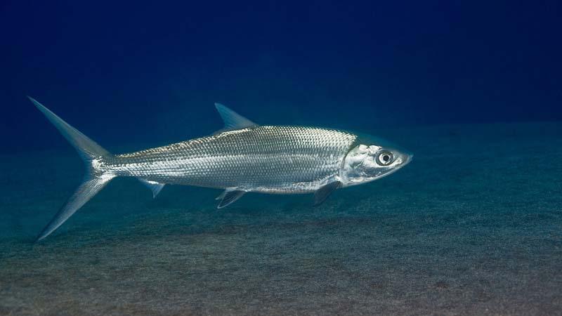 Ikan Bandeng air payau
