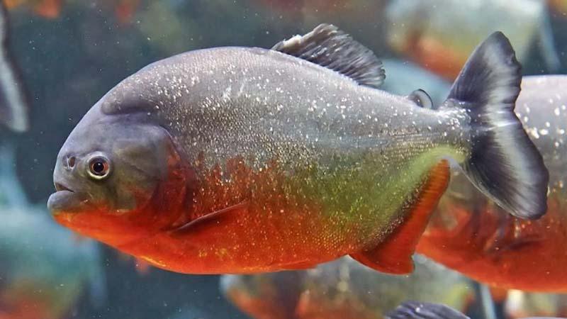 Ikan Bawal air payau