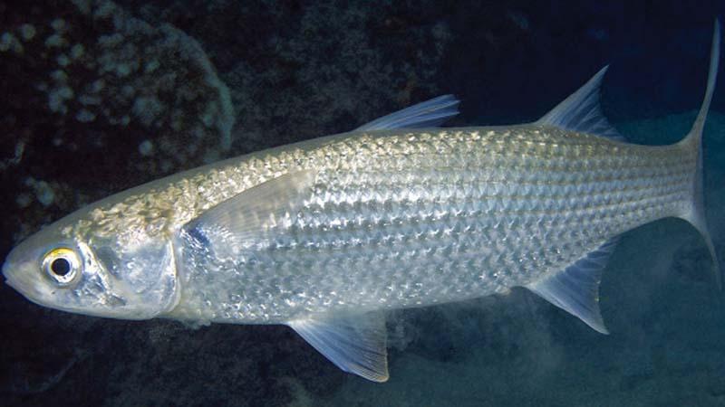 Ikan Belanak