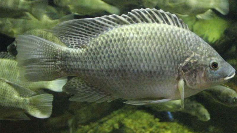 Ikan Mujair air payau