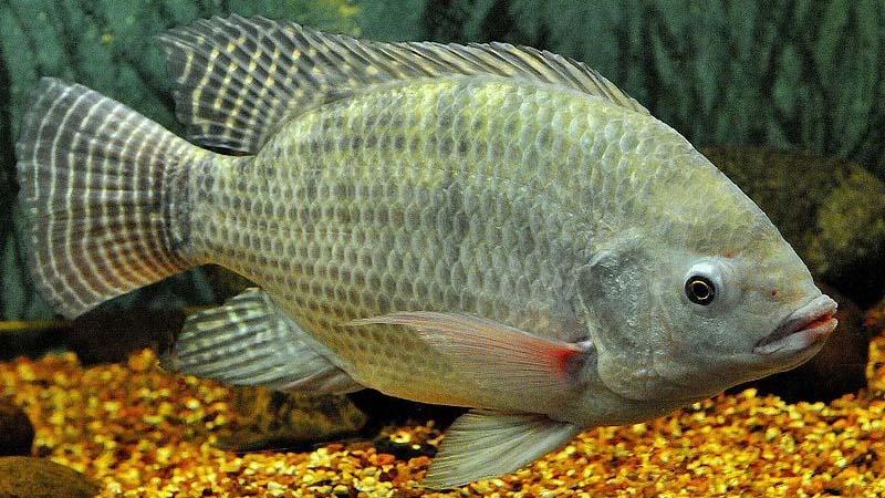 Ikan Nila air payau