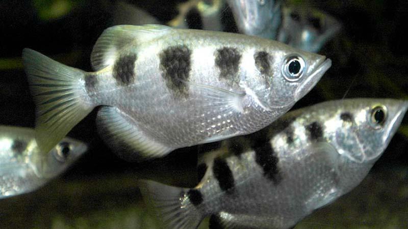Ikan Penyumpit