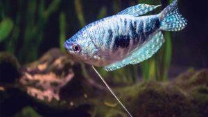 Ikan Sepat