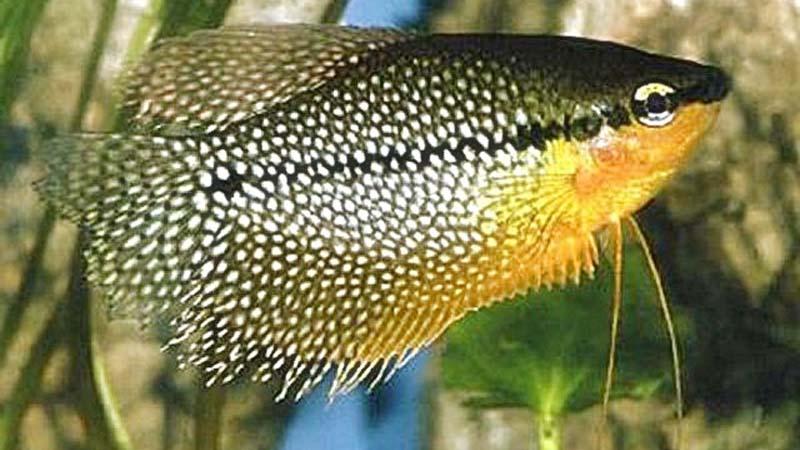 Ikan Sepat Mutiara