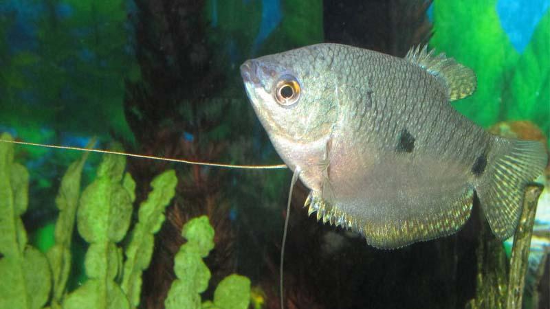 Ikan Sepat Padi