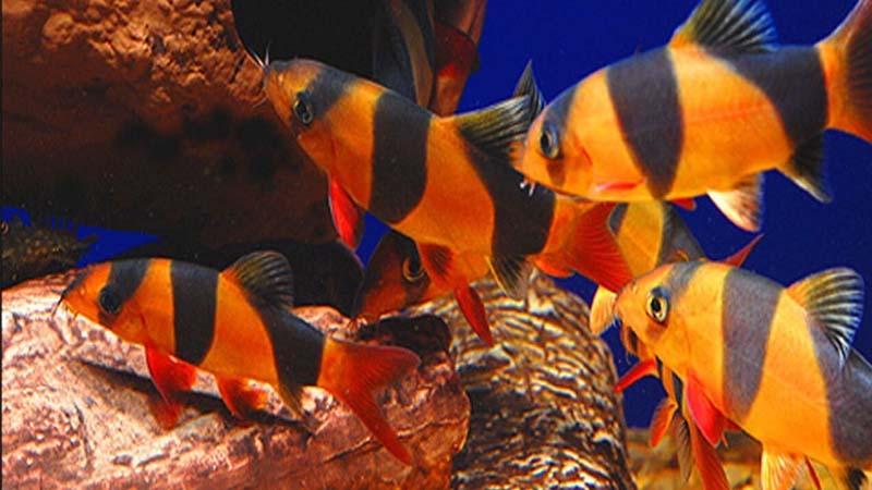 Jenis Ikan Botia